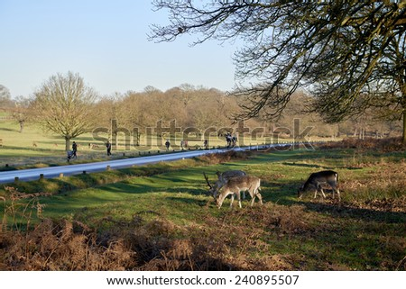 Fallow deer eating in autumnal Richmond Park in London by the road. - stock photo