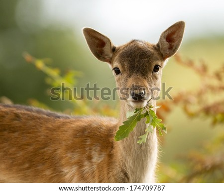 Fallow deer fawn eating a leaf - stock photo