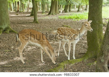 fallow deer in Black Forest area, Germany,europe - stock photo