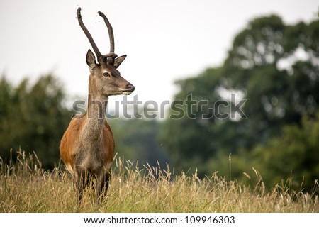 fallow deer in long grass against a background of trees/Fallow Deer - stock photo