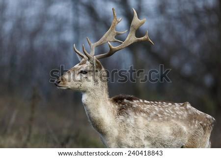 Fallow deer male - stock photo