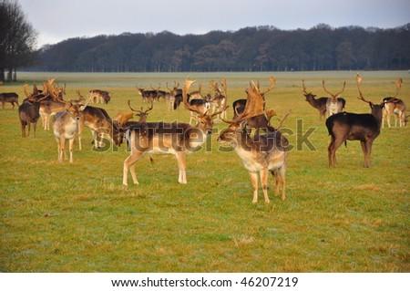 Fallow deer, Phoenix Park, Dublin, Ireland - stock photo