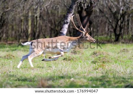 Fallow deer run on spring meadow - stock photo