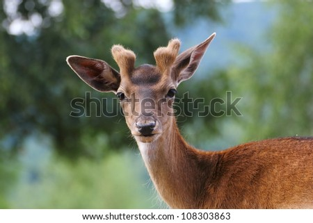 fallow deer stag looking at the camera - stock photo