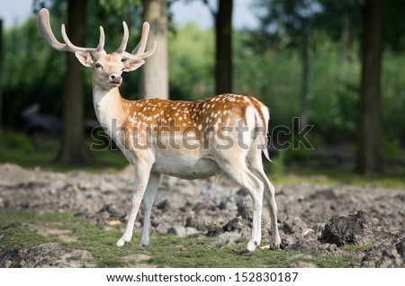 Fallow deer stands in forest - stock photo