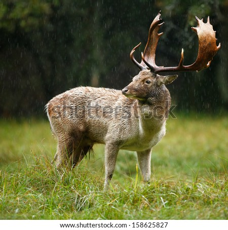 Fallow deer stands in the rain during the rutting season  - stock photo