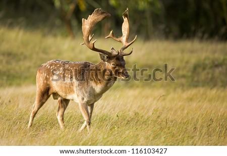 Fallow deer walks trough the grass during rutting season - stock photo