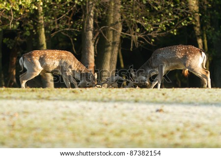 Fallow Deers fighting - stock photo