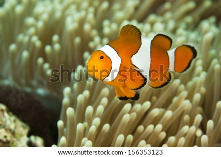 False Clown Anemonefish (Amphiprion ocellaris), on a tropical coral reef in Bali, Indonesia. - stock photo