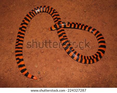 False coral snake - stock photo