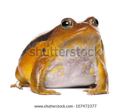 False Tomato Frog, Dyscophus guineti, portrait against white background - stock photo