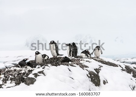 Families of Gentoo Penguins near Vernadsky Station, Antarctica - stock photo