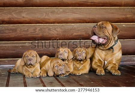 Family Bordeaux mastiff sitting together - stock photo