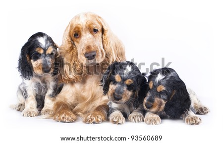 family English Cocker Spaniel dogs in front of a white background - stock photo