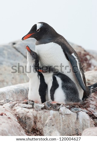 Family Gentoo penguins  (Pygoscelis papua) on rocks. - stock photo