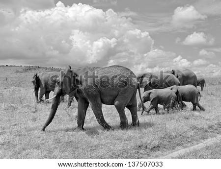 Family of african elephant on the Masai Mara National Reserve - Kenya (black and white) - stock photo