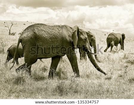 Family of african elephant on the Masai Mara National Reserve - Kenya, Eastern Africa (stylized retro) - stock photo