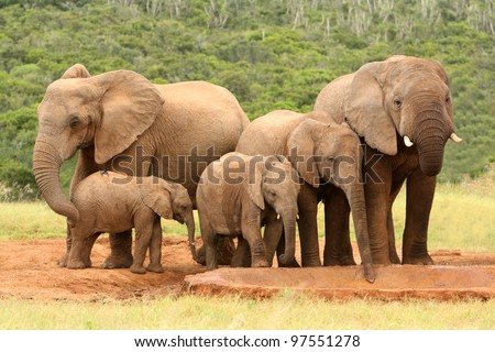 Family of African elephants at a waterhole, South Africa - stock photo