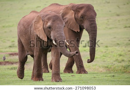 Family of African elephants walking across the green grass - stock photo