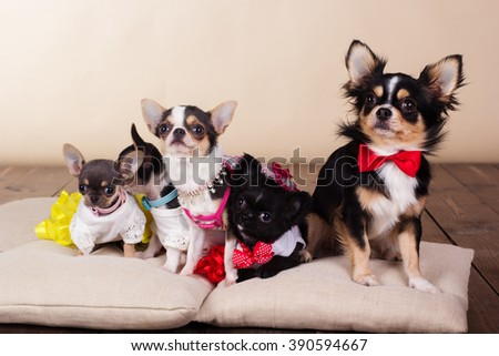 Family of chihuahua dogs on pillows - stock photo