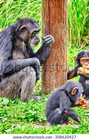 Family of Chimpanzee in its natural habitat in the wild. - stock photo