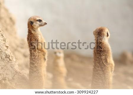 Family of cute Meerkats - stock photo