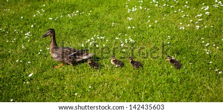 Family of ducks - stock photo