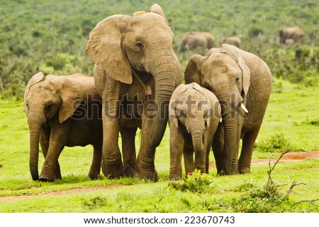 Family of elephants stop and stand close together in a path  - stock photo