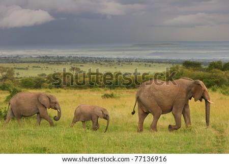 Family of elephants walking through the savanna, Masai Mara, Kenya - stock photo