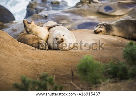 Family of four light, small sea lions yawning and sleeping in the sun on a rocky beach in San Diego, California with plant foreground  in La Jolla cove - stock photo
