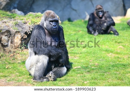 Family of gorillas resting on the grass - stock photo