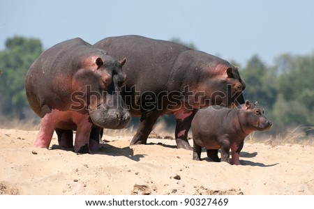 Family of hippopotamuses on sandy coast at the river. Zambia. Africa - stock photo