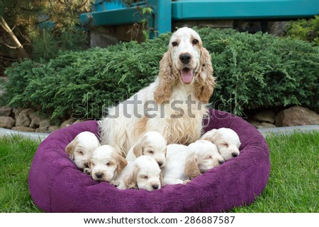 family of lying English Cocker Spaniel puppy, 24 days old with mother - stock photo