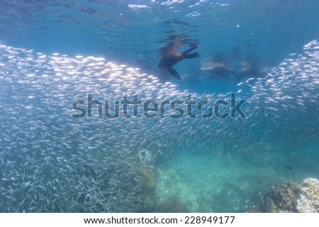 Family of Sea lion Seals after a giant sardine bait ball - stock photo
