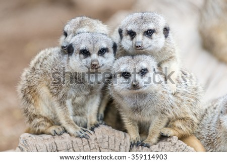 Family of South African Meerkats (Suricate) - stock photo