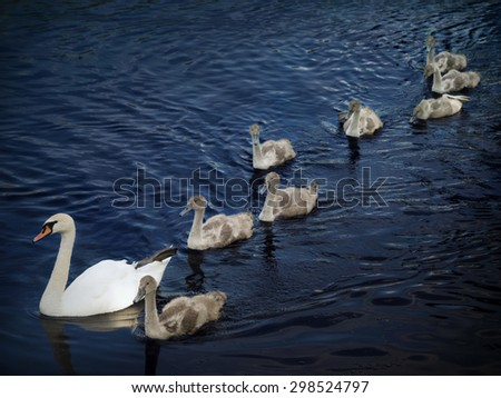 Family of swans. Mother and eight young. - stock photo