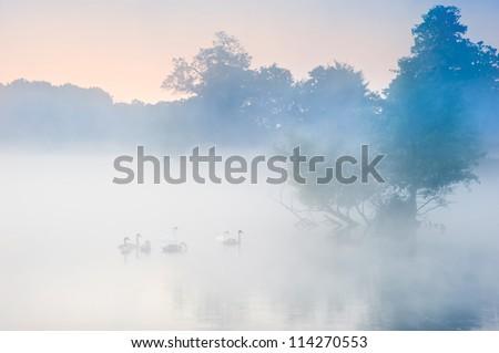 Family of swans swim across misty foggy Autumn Fall lake - stock photo