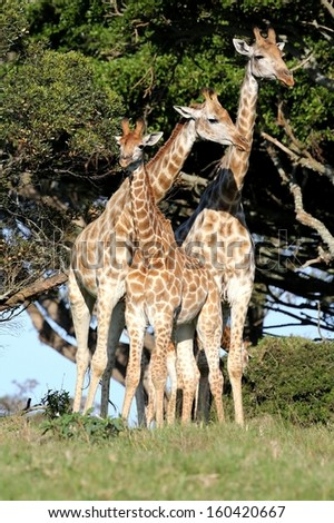 Family of three giraffes standing next to a tall tree in the African wild - stock photo
