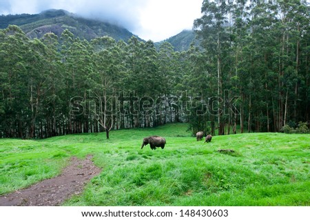 Family of wild elephants walking and grazing in green grass forest meadow. adventure safari trek in mountain of Munnar Kerala India - stock photo