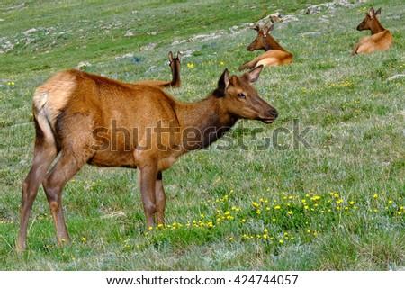 Family of Wild Elk Among Flowers.  Rocky Mountain National Park, Colorado - stock photo