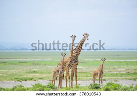 Family of wild giraffes in amazement looking at the photographer in the middle of the savannah - stock photo