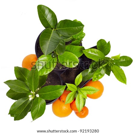 family of young potted citrus plants isolated on white. top view - stock photo