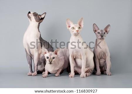 Family sphynx - stock photo