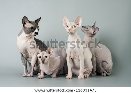 Family sphynx - stock photo
