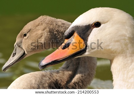 Family swan - mother and daughter - close up - stock photo