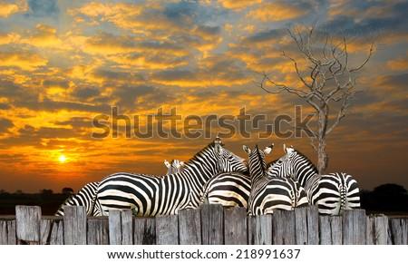 Family zebra, zebra, many live together in at sunset. - stock photo