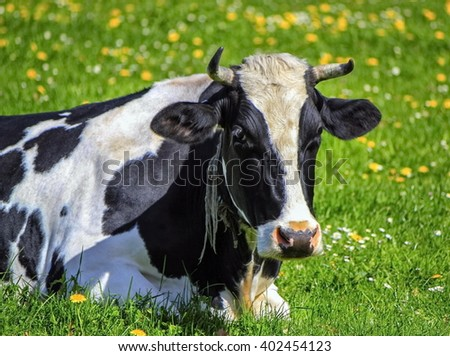 Famous black and white fribourg cow resting in the meadow by springtime, Switzerland - stock photo