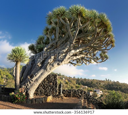 Famous Dragon Tree Dragos Gemelos near Puntagorda (La Palma, Canary Islands) - stock photo