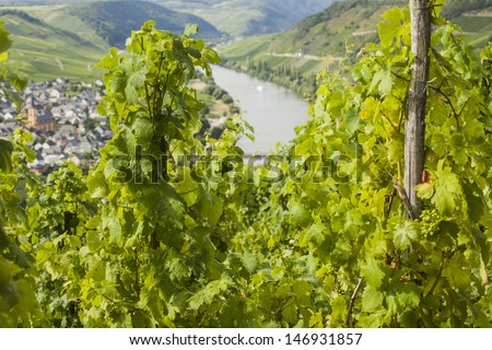 Famous Mosel vineyard with view on river Mosel in background - stock photo