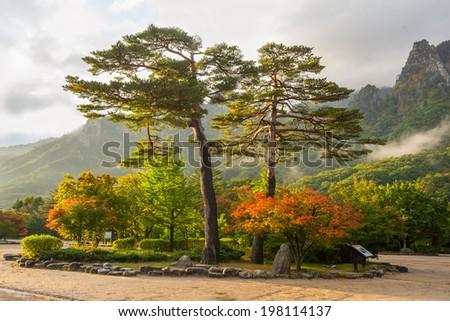 famous pair pines in the morning light - symbol of Seoraksan National Park, South korea  - stock photo